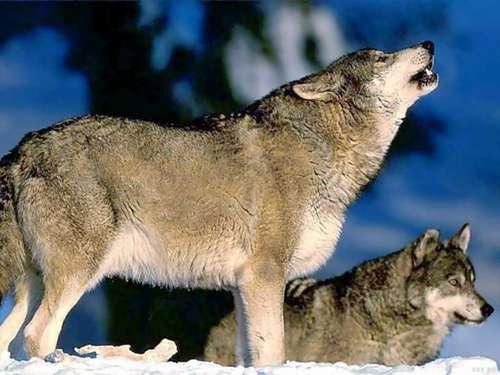 В Добрянку пришли волки