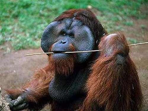 Орангутанг из Вашингтона научился свистеть - фото 1