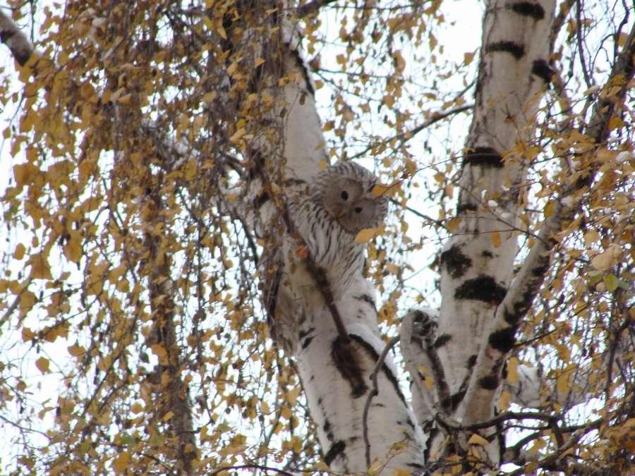 В центр Перми наведалась сова - фото 1