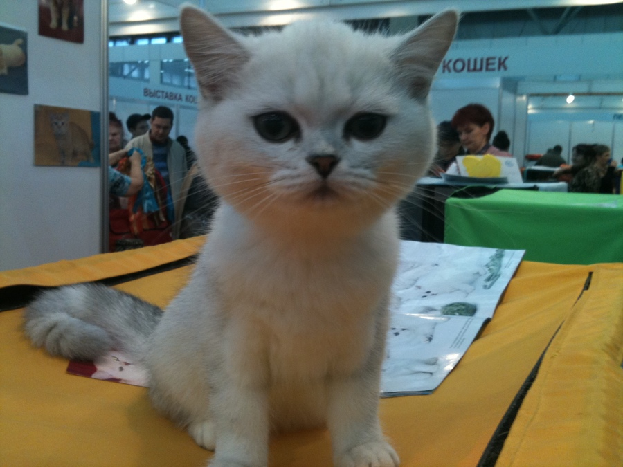 В Перми прошла кошачья выставка