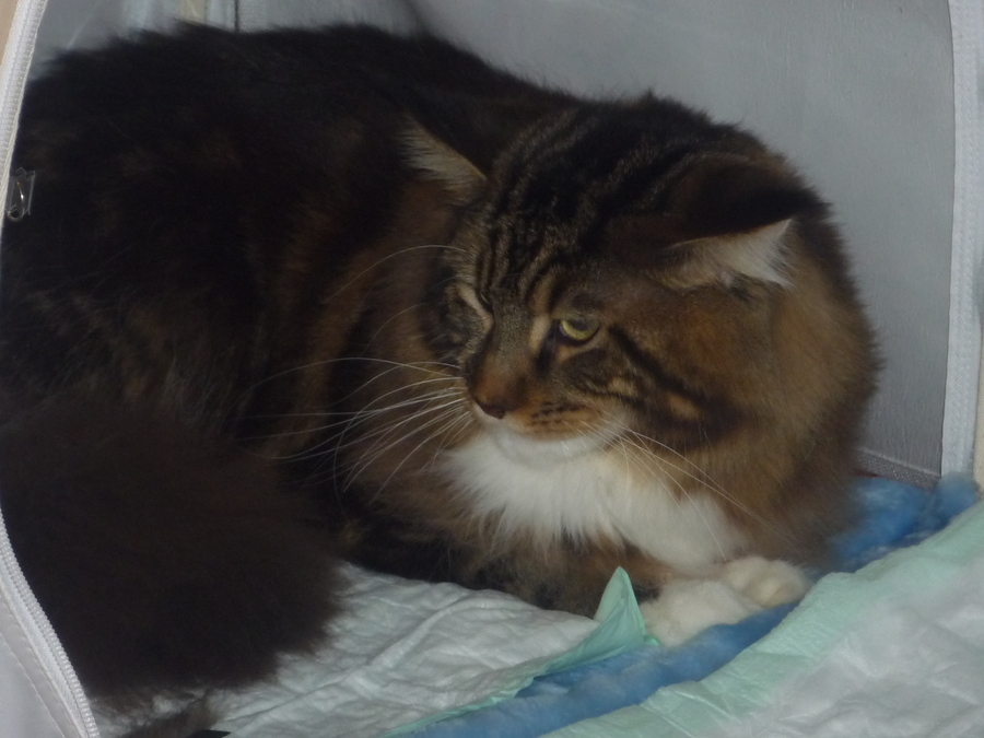 На «Пермской ярмарке» кошки нашли свой дом