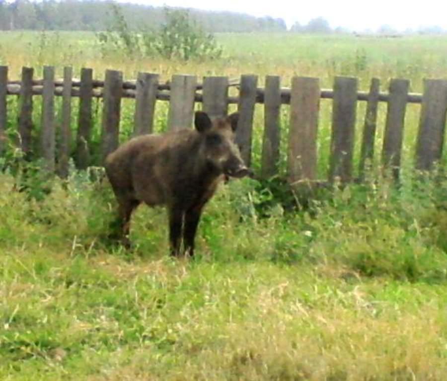В Бардымском районе фермерских свиней навестил дикий кабан - фото 1
