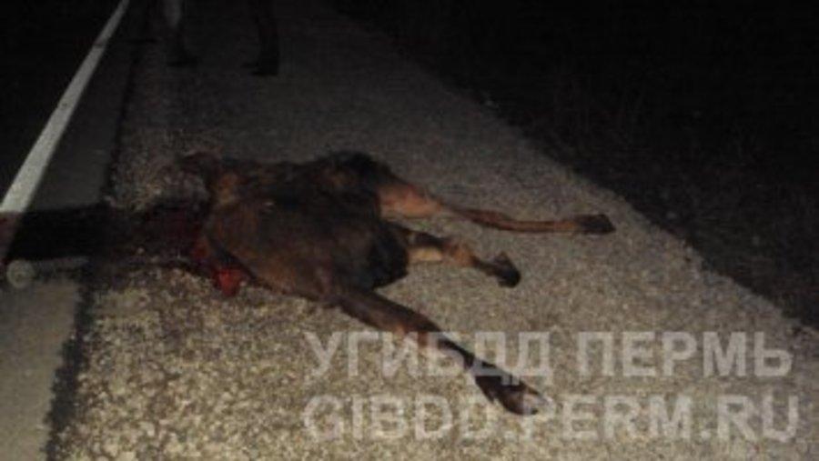 В Пермском крае легковушка сбила лося - фото 1