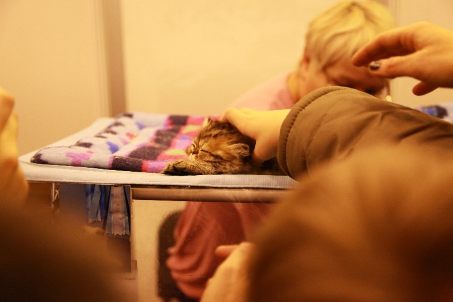 Добро победило зло на выставке кошек в Перми - фото 2