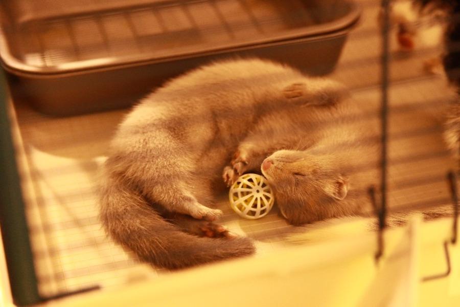 Добро победило зло на выставке кошек в Перми - фото 11