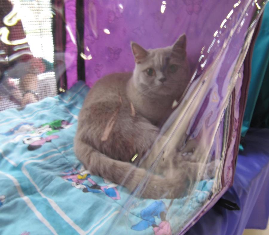 В Перми в «Разгуляе» открылась очередная выставка кошек - фото 9