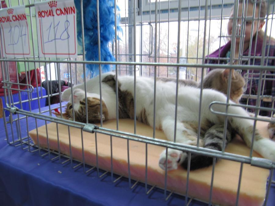 В Перми в «Разгуляе» открылась очередная выставка кошек - фото 12