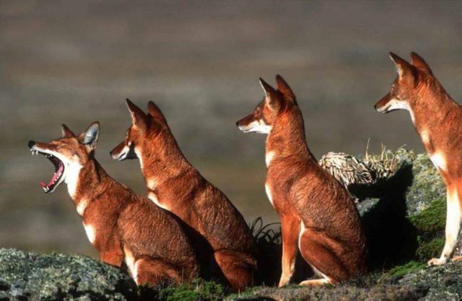Пермский зоопарк поделился с Северной Кореей красными волками - фото 1