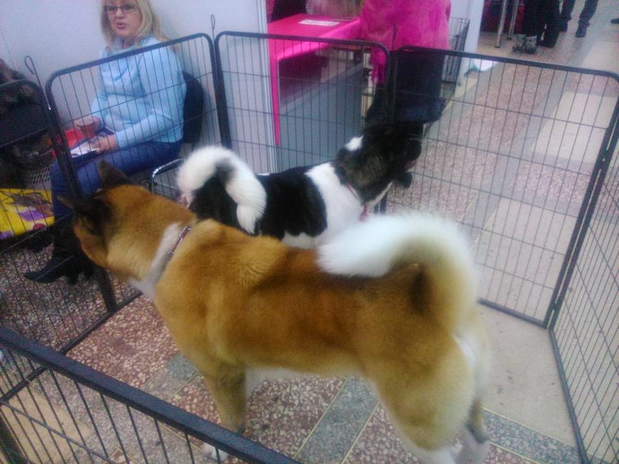 В Перми открылась очередная собачья выставка - фото 1