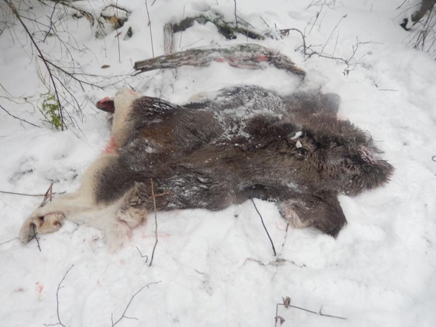 В Пермском крае браконьеры убили и расчленили лося