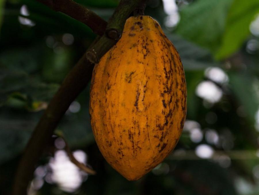 В Ботаническом саду Пермского университета созрело какао - фото 1
