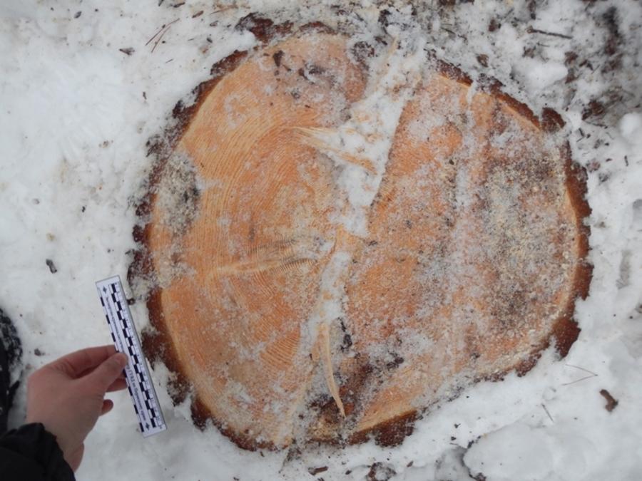 В Пермском крае задержан черный лесоруб