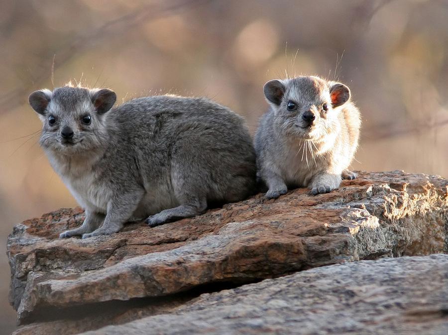 В Пермский зоопарк прибыл даман из Чехии - фото 1