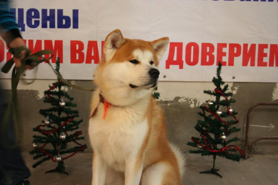На выставке собак в Перми победил Ай