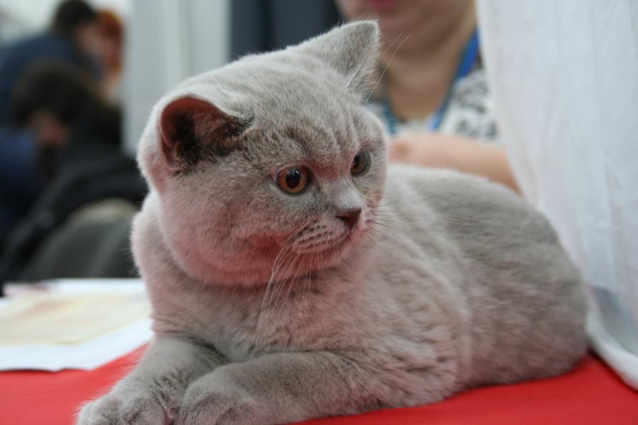 Пермским котам тоже приходится сбрасывать вес