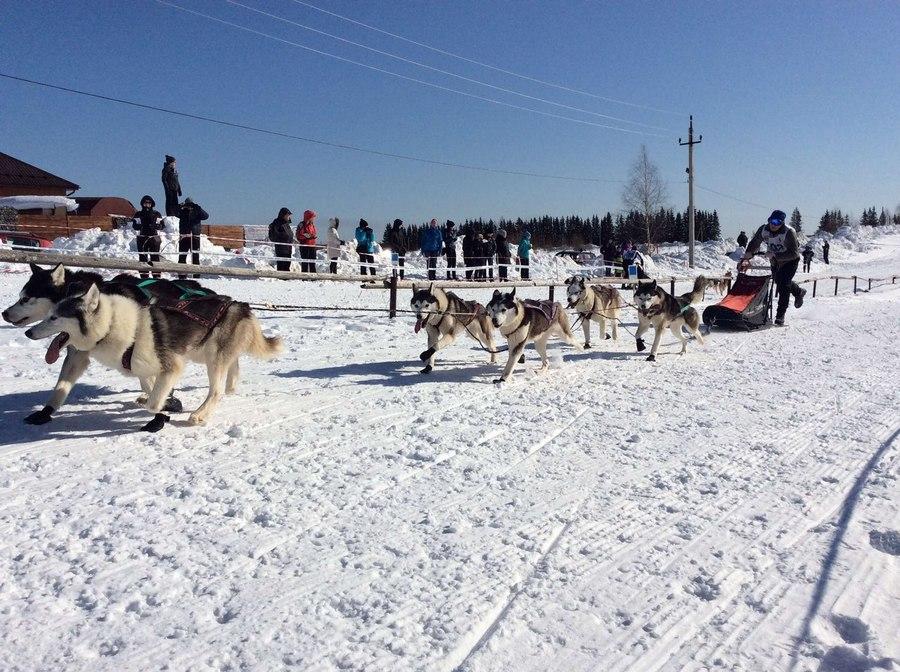 В Полазне завершилась юбилейная гонка на собачьих упряжках