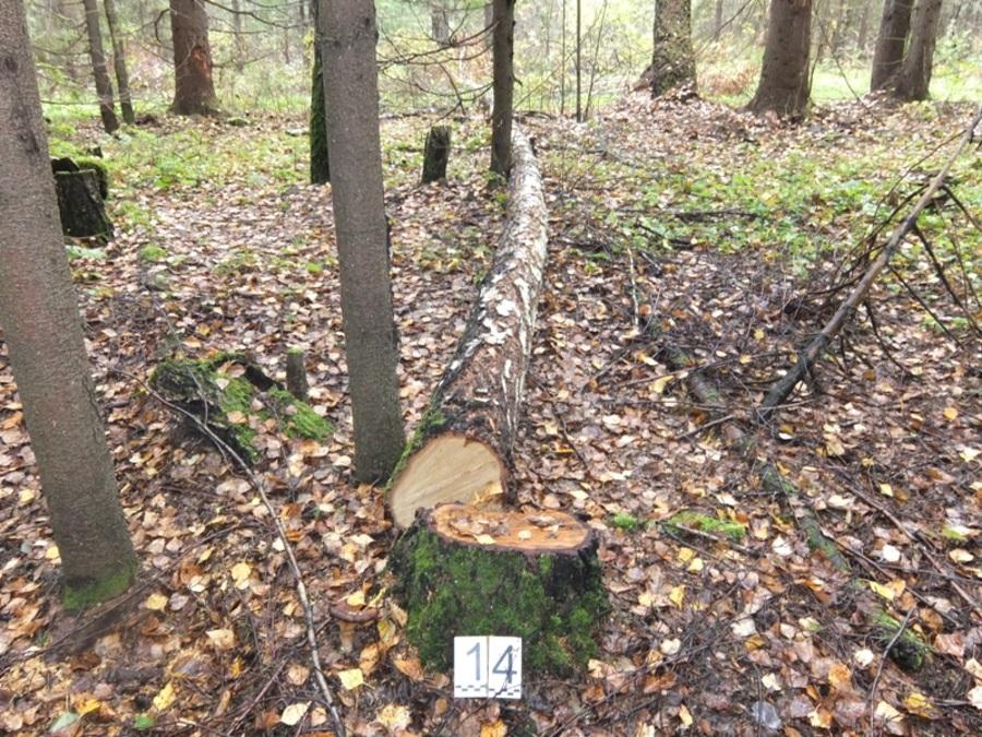 В Пермском крае супружеская пара срубила 78 деревьев - фото 1